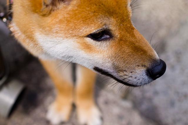 茶色の犬の写真