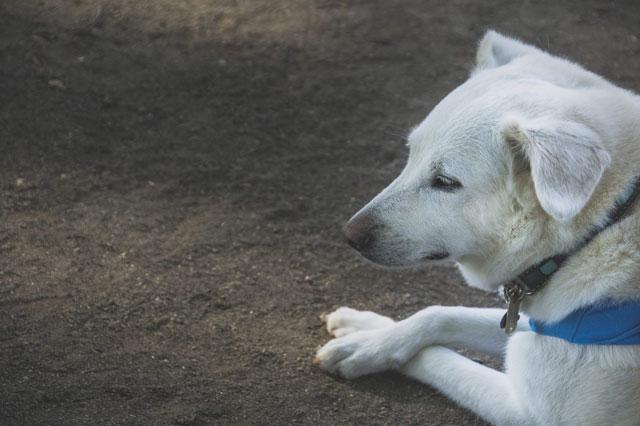 白い犬の写真