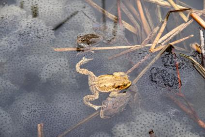 カエルの卵の写真