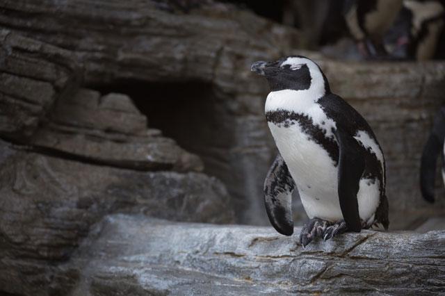 ペンギンが岩場に立っている写真
