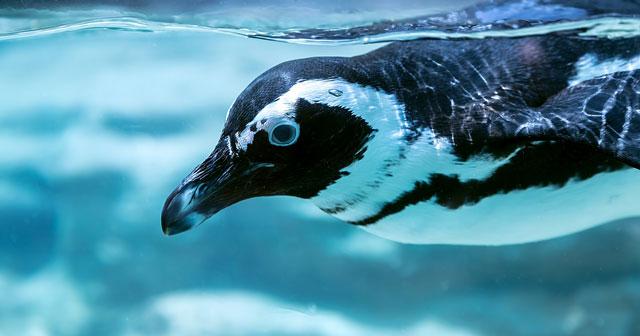 泳いでいるペンギンの写真