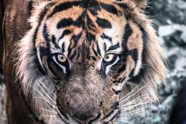 襲いかかってきそうな虎