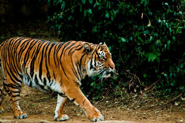 虎が歩いている写真