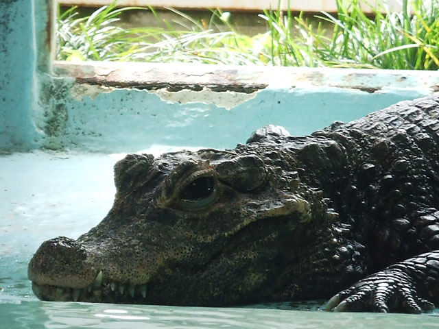 プールで飼われるワニ