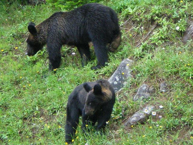 熊が歩いている写真
