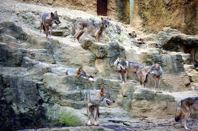 オオカミの群れの写真