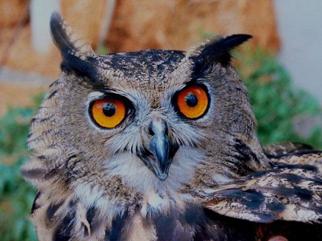 フクロウの顔写真