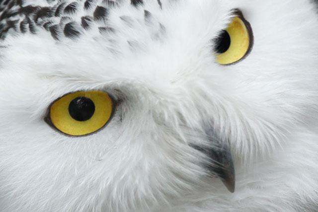白いフクロウの写真