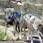 狼が立っている写真