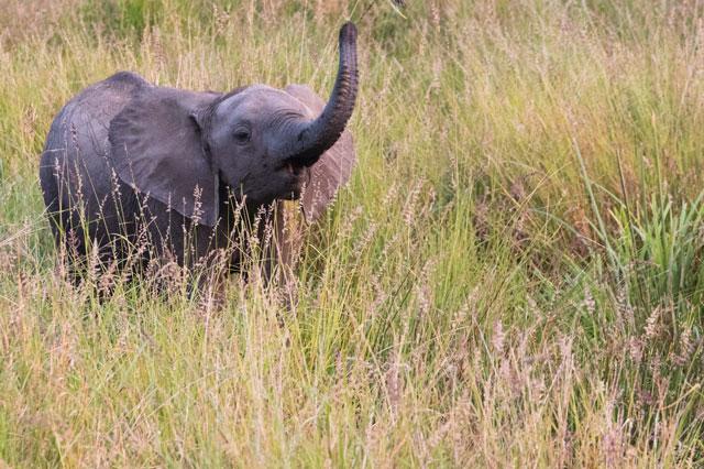 象が鼻を上げている写真