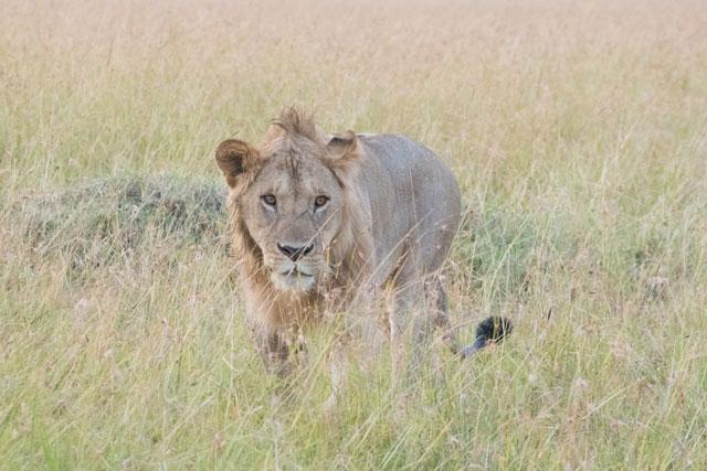 草原にいるライオンの写真