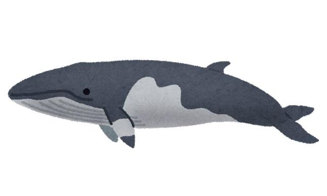 ミンククジラのイラスト
