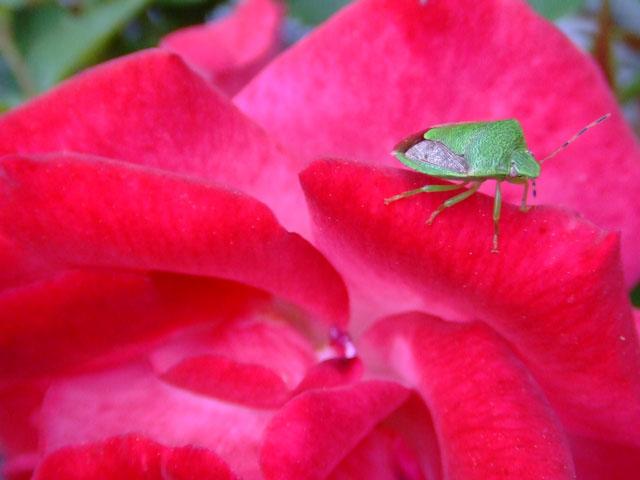 緑色のカメムシの写真
