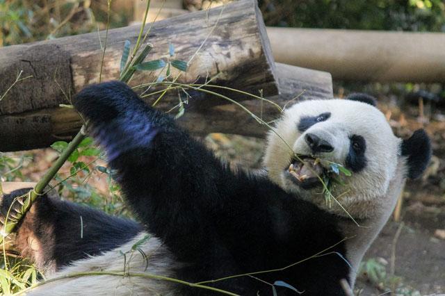 パンダが笹を食べている写真