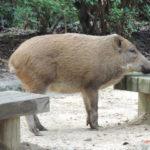 太った猪の写真