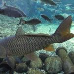 野鯉が泳いでいる写真