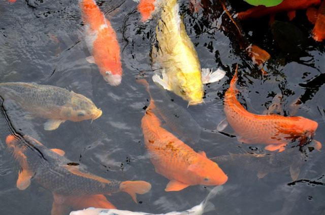 様々な種類の錦鯉の写真